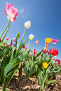 Tulip field in early summer with colorful tulips under a blue sky germany Stock Photos