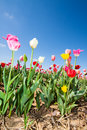 Tulip field in early summer with colorful tulips under a blue sky germany Stock Photography
