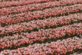 Tulip field in Holland Stock Photography