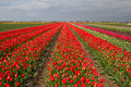 Tulip field in Holland Royalty Free Stock Photos