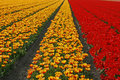 Tulip field near Lisse in the Netherlands Stock Images