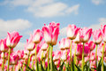 Tulip field of pink tulips in the netherlands Royalty Free Stock Images
