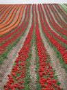 Tulip field with red blossoms shallow depth of Stock Photography