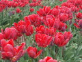 Tulip field with red blossoms shallow depth of Royalty Free Stock Photography