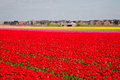 Tulip field red with residential housing in the background Stock Photos