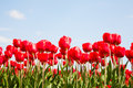 Tulip field of red tulips in the netherlands Royalty Free Stock Photo