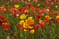 Tulip field with red and yellow flowers in germany lower saxony europe Royalty Free Stock Images