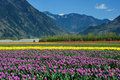 Tulip field in sea bird island Royalty Free Stock Photos