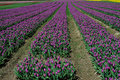 Tulip field in sea bird island Stock Image