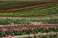 Tulip field in sea bird island Royalty Free Stock Image