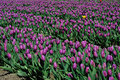 Tulip field in sea bird island Royalty Free Stock Photo