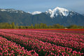 Tulip field and snow mountain Stock Photography