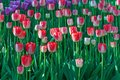 Tulip field Spring time flower garden, nature background. Royalty Free Stock Photo