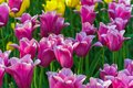 Tulip field Spring time flower nature background. Royalty Free Stock Photo