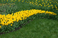 Tulip field wave of yellow flowers Royalty Free Stock Photos