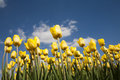Tulip field yellow in the netherlands Royalty Free Stock Photos