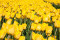 Tulip field yellow in the netherlands Royalty Free Stock Image