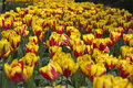 Tulip field of yellow and red Royalty Free Stock Image