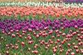 Tulip fields Royalty Free Stock Photo
