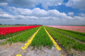Tulip fields in alkmaar colorful north holland during spring Stock Photo