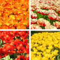 Tulip fields collage Stock Photos