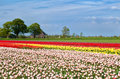 Tulip fields and dutch farmhouse alkmaar north holland Royalty Free Stock Images