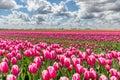 Tulip Fields In Full Bloom