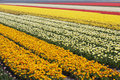 Tulip fields in the netherlands Stock Image