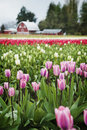 Tulip Fields.