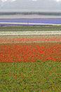 Tulip fields in spring the netherlands Royalty Free Stock Photo