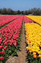 Tulip fields with tulips on bollenstreek in netherlands Royalty Free Stock Images