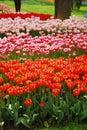Tulip file Royalty Free Stock Photo