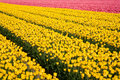 Tulip filed field of yellow and pink tulips in the netherlands Stock Images