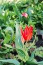 Tulip flourish in the garden.