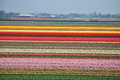 Tulip flourishing in Holland Royalty Free Stock Photo