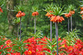 Tulip flourishing in Holland Royalty Free Stock Photo