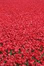 Tulip flower background field red tulips flowers spring in Nethe