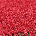 Tulip flower background red tulips flowers spring in Netherlands
