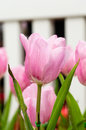 Tulip flower beautiful in the garden Royalty Free Stock Images