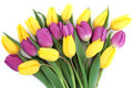 Tulip flower beauty yellow and purple arrangement over white background Royalty Free Stock Photography