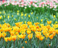 Tulip flower field yellow tulip flower sea Royalty Free Stock Photography