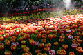 Tulip flower garden Royalty Free Stock Photo