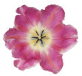 Tulip flower isolated Royalty Free Stock Photo