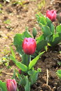 Tulip Flower. Royalty Free Stock Photo