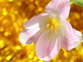 Tulip flower mothers day or easter stock photos valentines card light pink on yellow blur background Stock Images