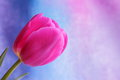 Tulip flower mothers day valentines stock photos or easter card pink on blue purple background Royalty Free Stock Photo