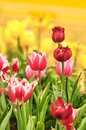 Tulip flower the is a perennial bulbous plant with showy flowers in the genus tulipa of which around wild species are currently Stock Image
