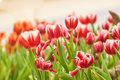 Tulip flower the is a perennial bulbous plant with showy flowers in the genus tulipa of which around wild species are currently Royalty Free Stock Photography