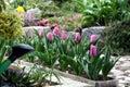 Tulip in the flower pot Stock Photos