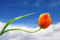 Tulip flower on sky background blue Stock Photos